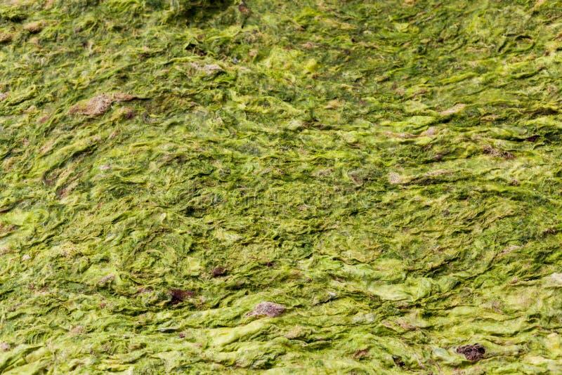 Fundo macro da alga no verde e no amarelo Macro da grama na praia Borrado com ponto de foco Close-up do macro da cama de mar imagens de stock