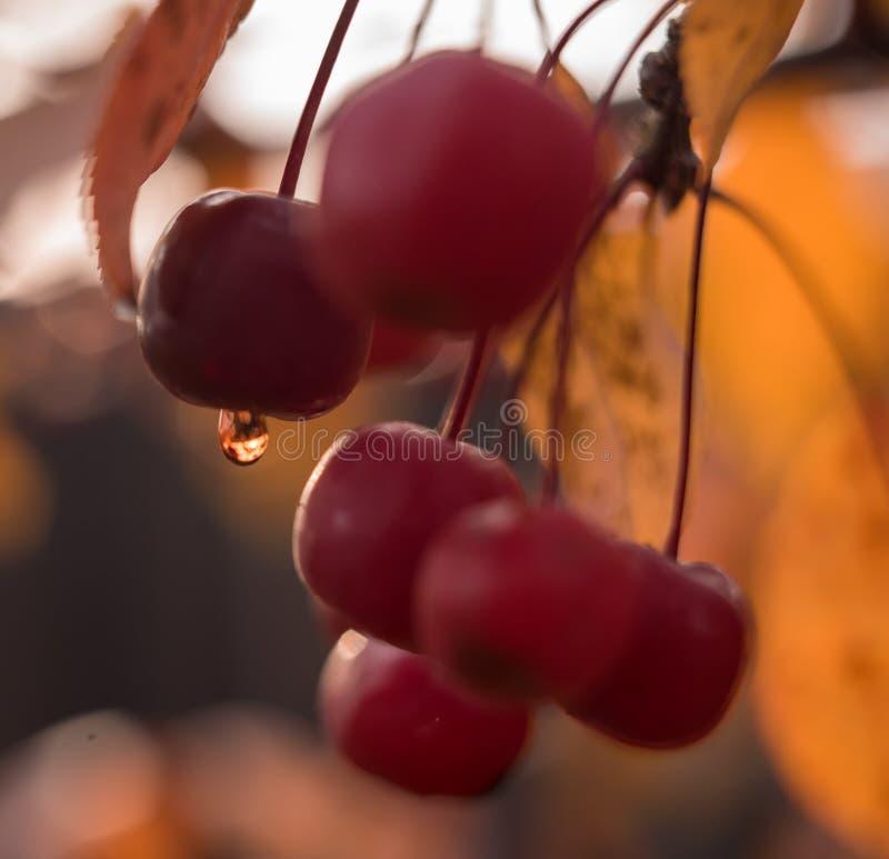 fundo macro do bokeh da gota vermelha da água da maçã exterior imagem de stock royalty free