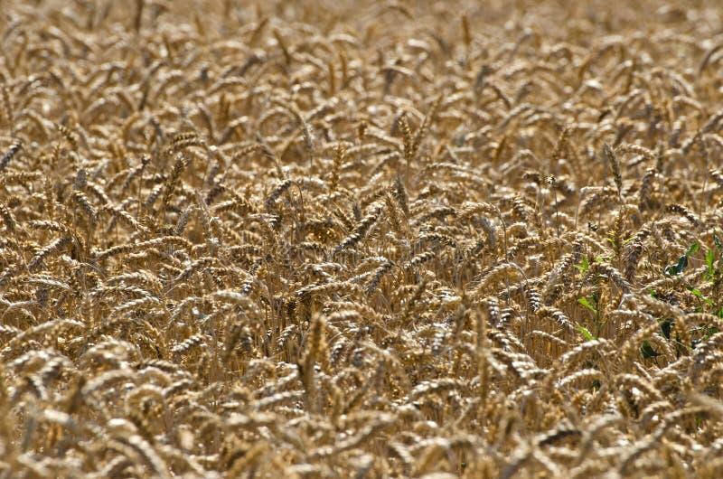Fundo maduro da agricultura das orelhas do trigo imagens de stock