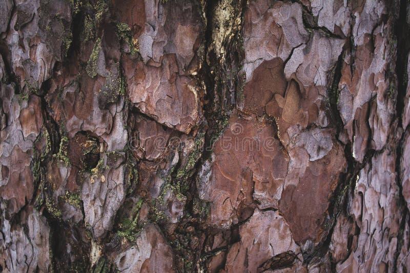 fundo marrom e roxo áspero rachado da casca de árvore foto de stock