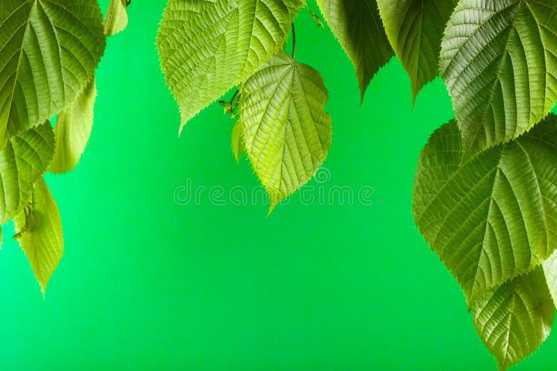 Fundo monocromático verde com as folhas novas do Linden imagem de stock