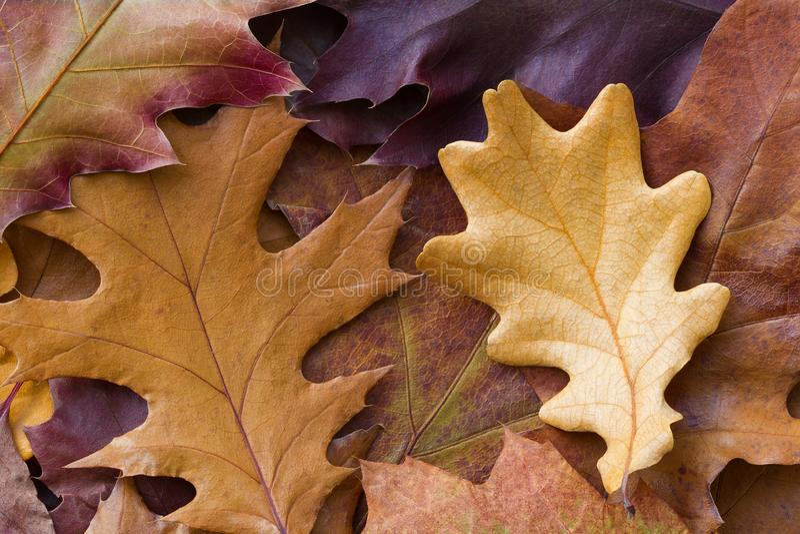 Fundo multicolorido de surpresa das folhas de outono naturais do carvalho Fundo colorido das folhas multicoloridos com luz natura foto de stock royalty free