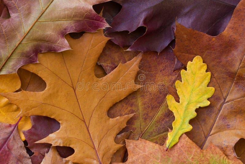 Fundo multicolorido de surpresa das folhas de outono naturais do carvalho Fundo colorido das folhas multicoloridos com luz natura imagem de stock