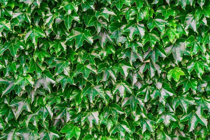 Fundo natural abstrato das folhas verdes brilhantes fotografia de stock royalty free