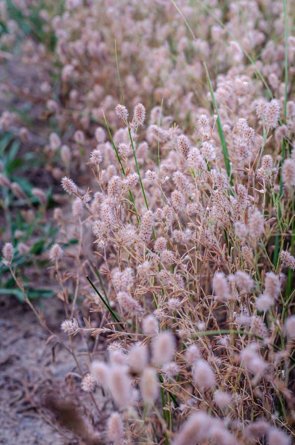 Fundo natural bonito de gramas do campo sem céu e horizonte Tom bege macio Foco macio Área para o texto do desenhista imagem de stock