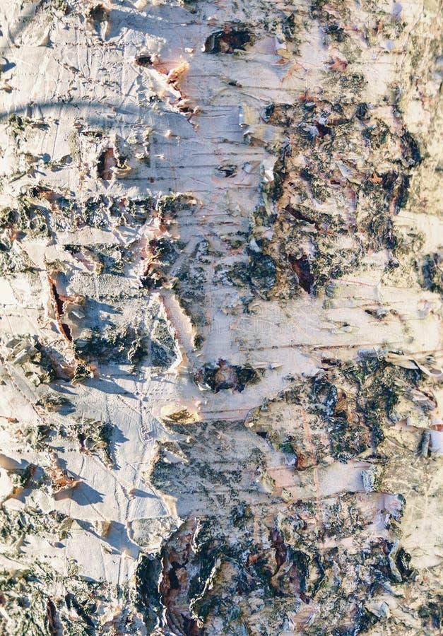 Fundo natural - close-up de uma árvore de vidoeiro velha com cor mais branca imagens de stock