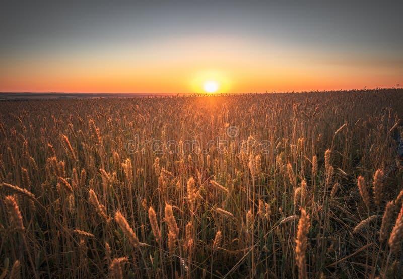 Fundo natural cru do alimento Céu do por do sol com as nuvens sobre a cena rural Campo de trigo verde do outono Raios de nivelame fotografia de stock