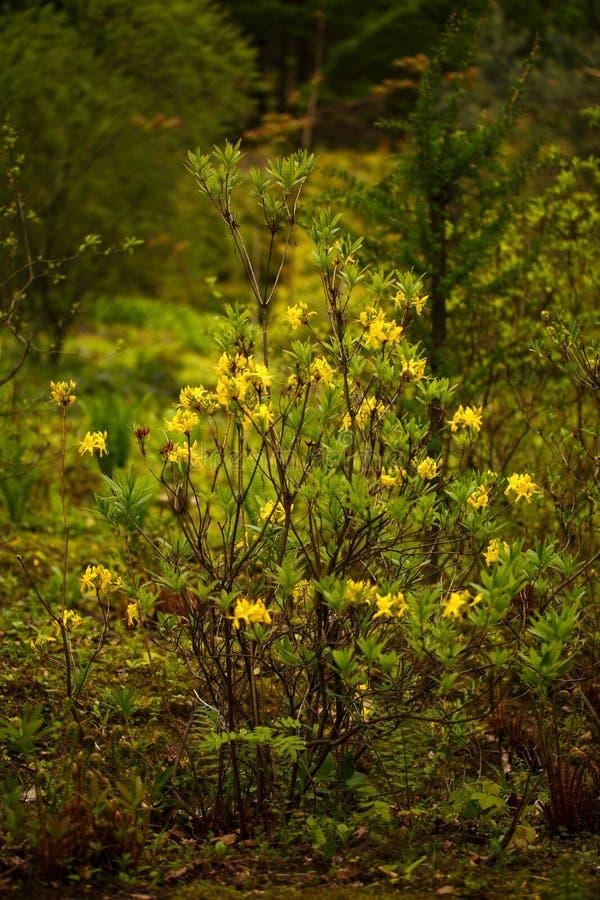 Fundo natural da flor A opinião surpreendente da natureza do arbusto da mola floresce no jardim imagem de stock royalty free