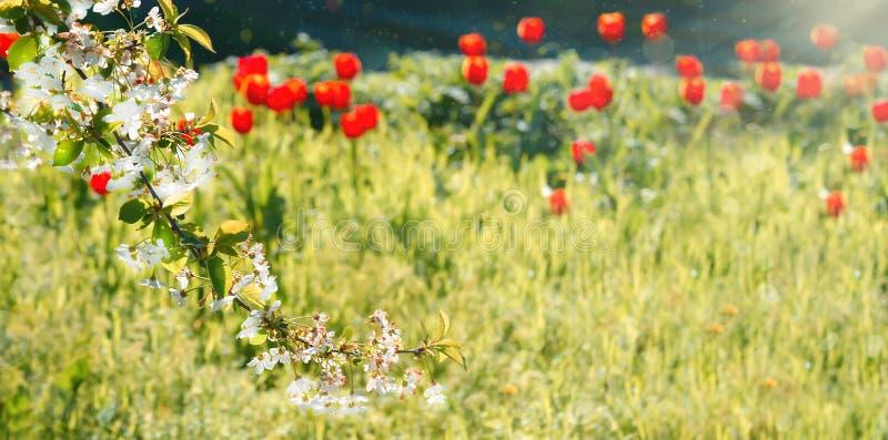 Fundo natural da mola com as tulipas vermelhas bonitas Foco macio Cherry Blossom ou flor de Sakura imagens de stock royalty free