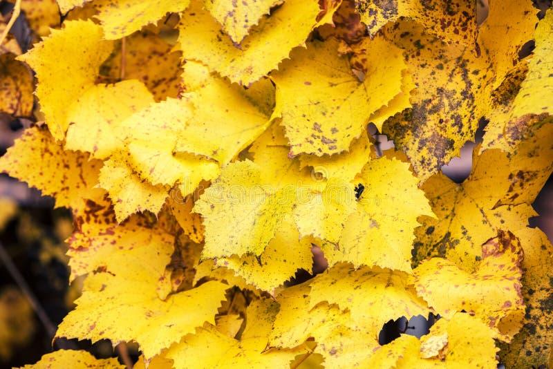 Fundo natural das folhas douradas fotos de stock royalty free