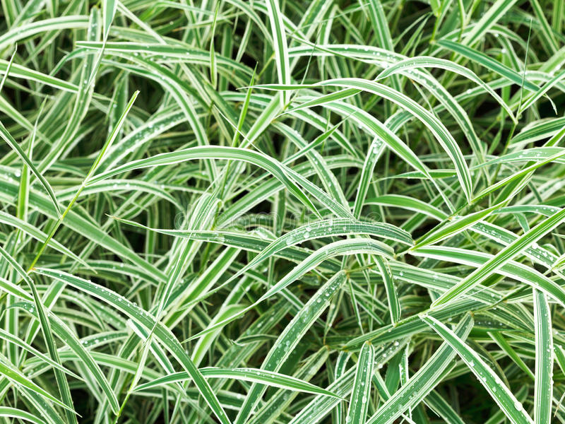Fundo natural das folhas verdes molhadas do Carex imagem de stock