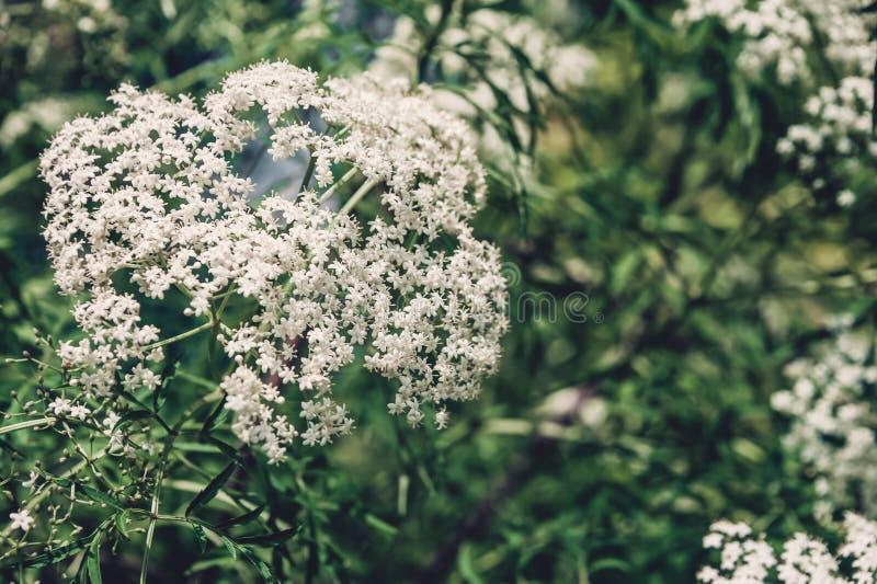 Fundo natural de muitas flores brancas pequenas fotografia de stock