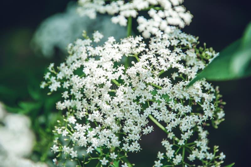 Fundo natural de muitas flores brancas pequenas imagem de stock