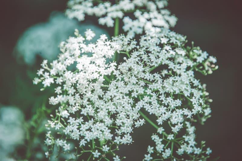 Fundo natural de muitas flores brancas pequenas fotografia de stock royalty free