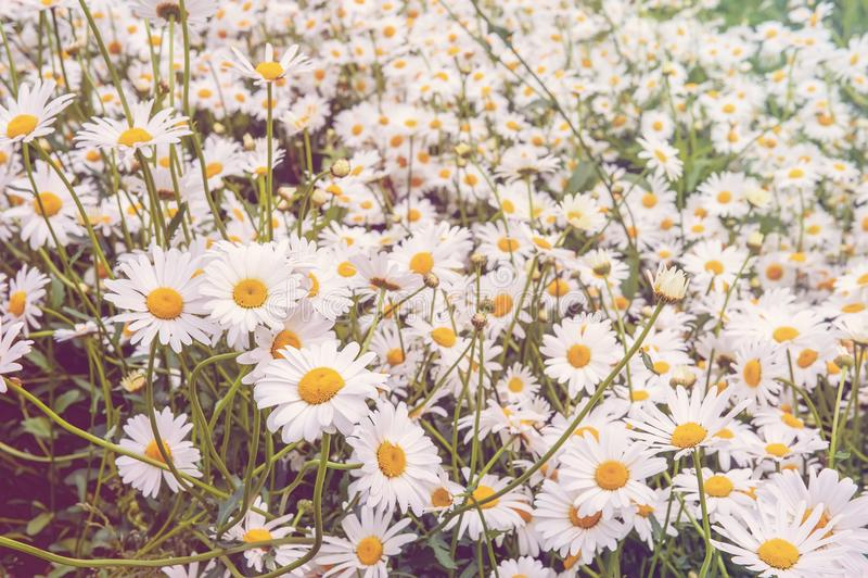 Fundo natural do campo de muitas flores pequeno da margarida branca Dia ensolarado fotos de stock