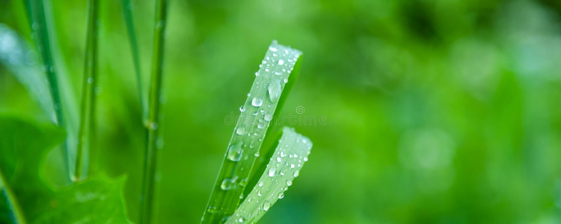 Fundo natural do prado, teste padrão - gotas do orvalho nas folhas da grama imagem de stock