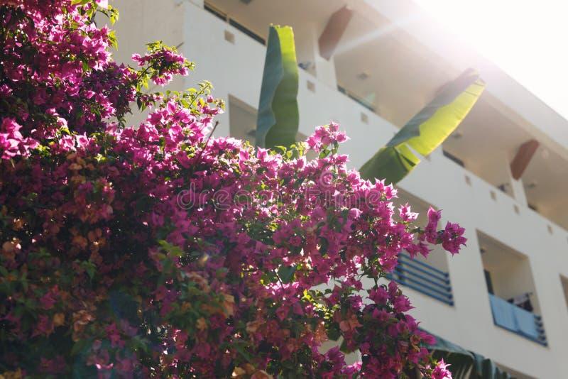 Fundo natural Flores cor-de-rosa bonitas na árvore nos raios delicados do sol morno Fundo bonito da natureza imagem de stock royalty free