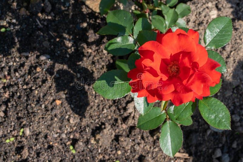 Fundo natural Imagem ascendente próxima da rosa vermelha no jardim imagem de stock