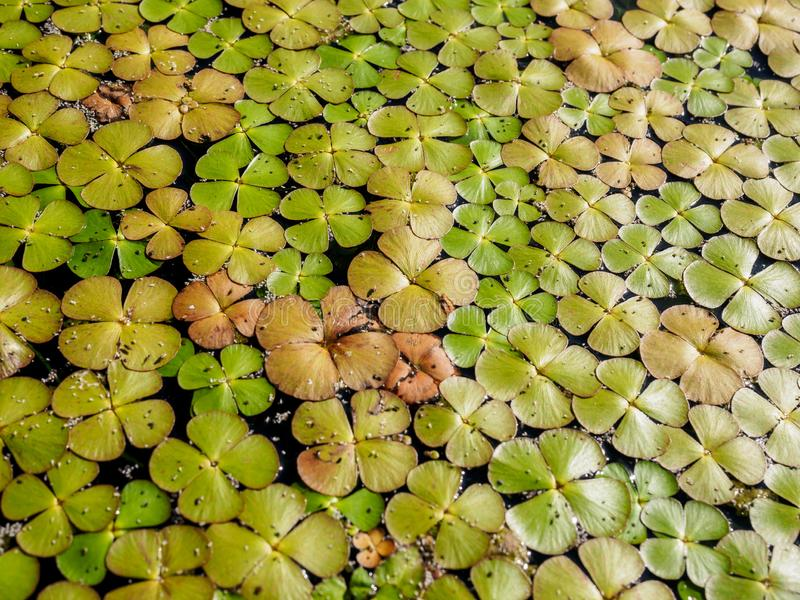Fundo natural verde da lentilha-d'?gua Lemnoideae em uma lagoa no dia ensolarado imagens de stock