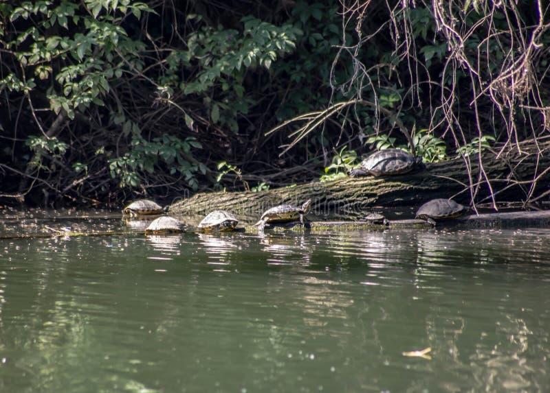 Fundo naturalista imagem particular do banco de rio com a família de tartarugas unidas fotos de stock
