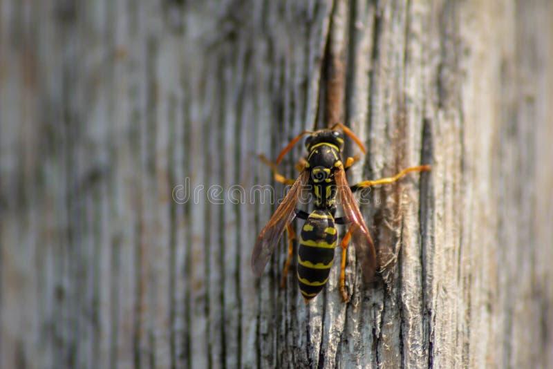 Fundo naturalista vespa que descansa em um feixe de madeira particular foto de stock royalty free