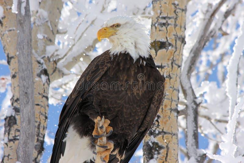 Fundo nevado da árvore da águia calva foto de stock