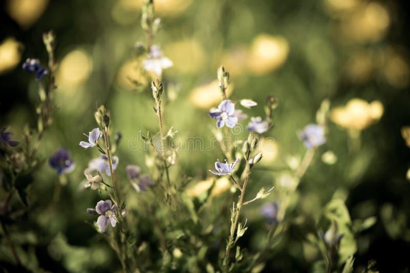 Fundo obscuro por muitos flor selvagem azul do close up no campo na manhã fotos de stock royalty free