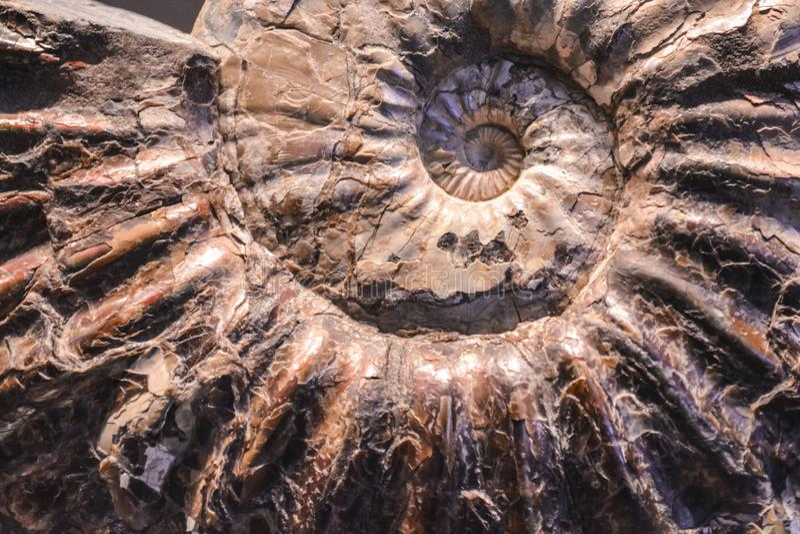 Fundo ou textura de uma pedra sob a forma de um escudo de um caracol Cor de Brown Amonite preciosa Material natural e contínuo imagens de stock