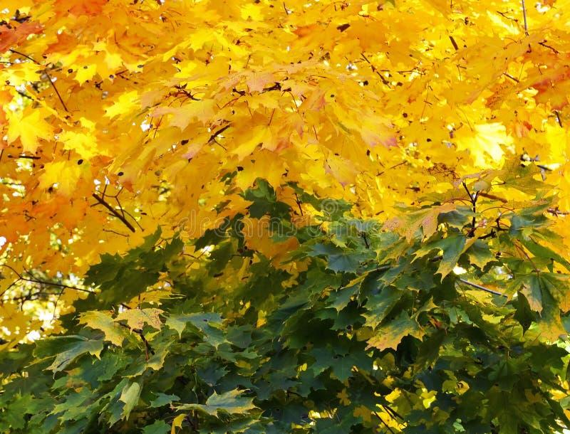 Fundo outonal das folhas de bordo amarelas e verdes Outono dourado Conceito do outono foto de stock royalty free