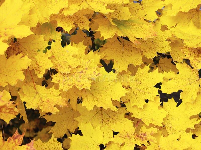 Fundo outonal das folhas de bordo amarelas Outono dourado Conceito do outono imagem de stock