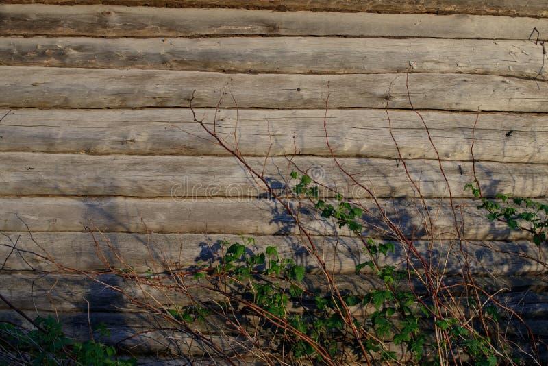 Fundo A parede de uma casa de log velha Os arbustos de framboesa secam os galhos e os ramos com folhas imagens de stock royalty free
