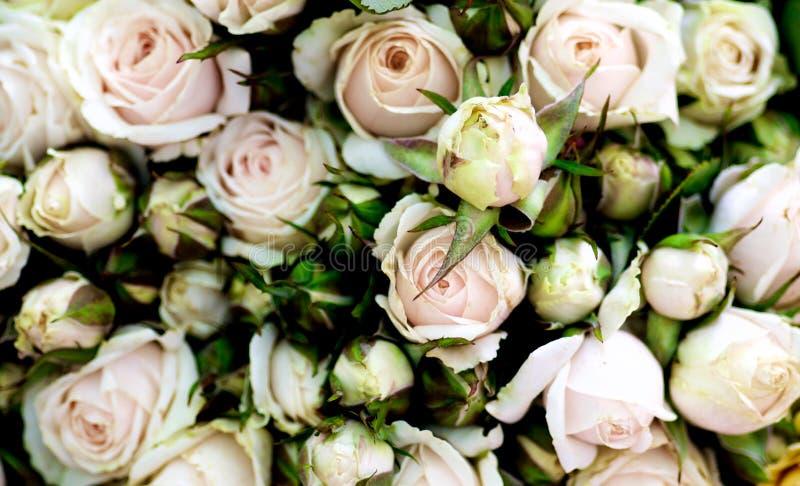 Fundo pastel das rosas de chá cor-de-rosa fotos de stock royalty free