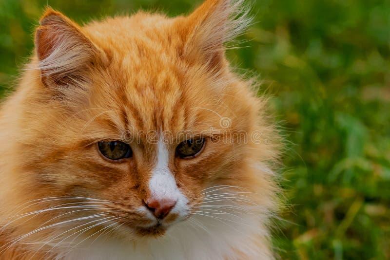 Fundo peludo do campo do retrato da cara do gato do gengibre imagem de stock royalty free