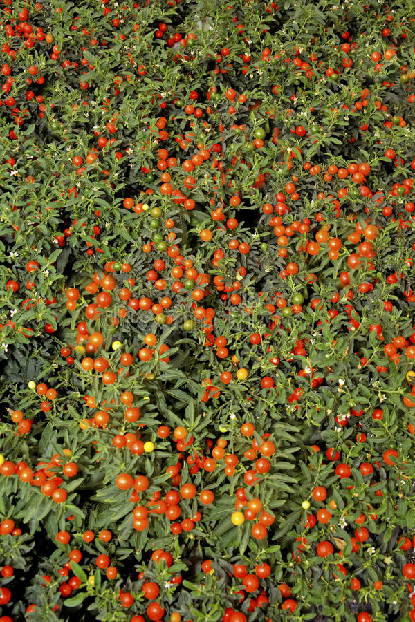 Fundo pequeno dos tomates de cereja imagens de stock royalty free
