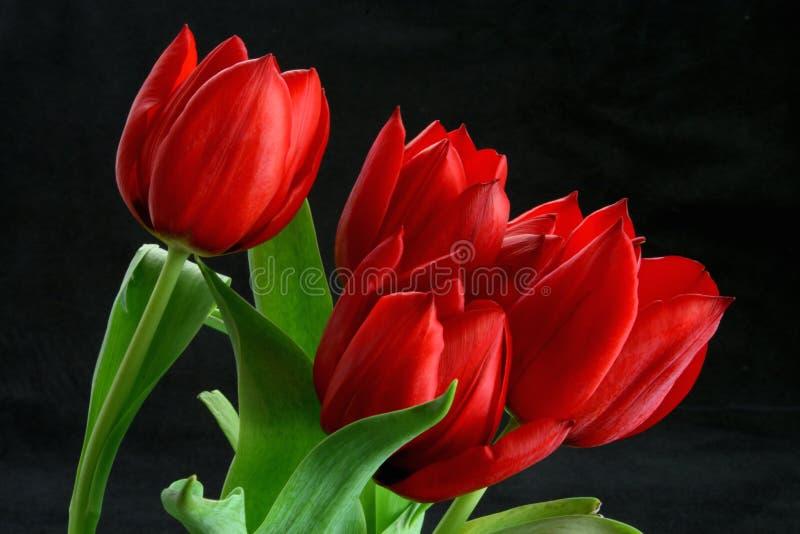 Fundo preto dos Tulips vermelhos fotos de stock royalty free