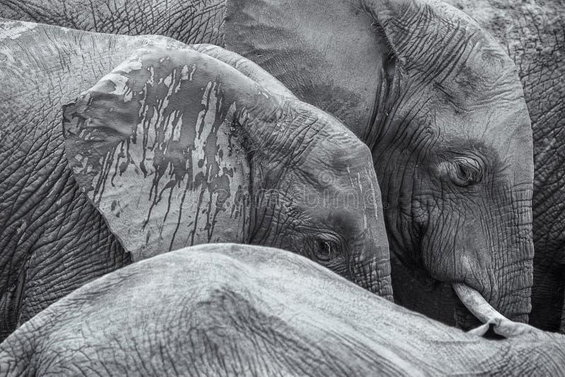 Fundo preto e branco da imagem do detalhe dos elefantes africanos foto de stock