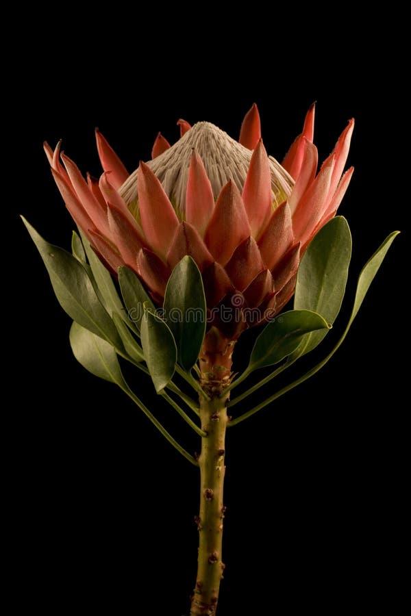 Fundo preto isolado da opinião lateral de rei Protea foto de stock