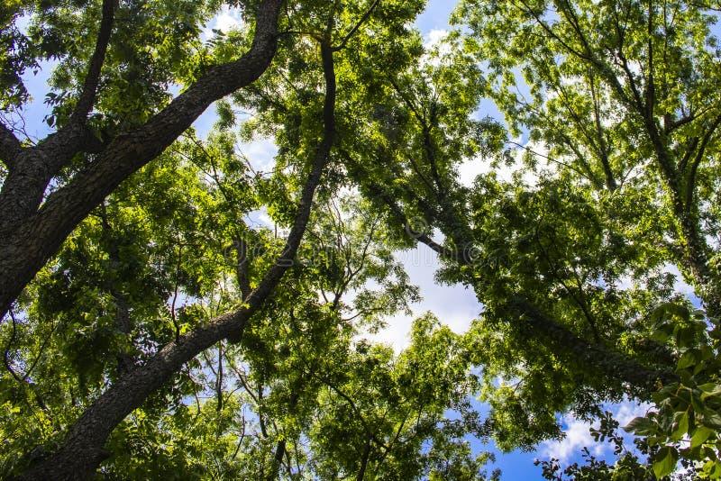 Fundo que olha acima através da parte superior de árvores altas a um céu nebuloso azul imagens de stock