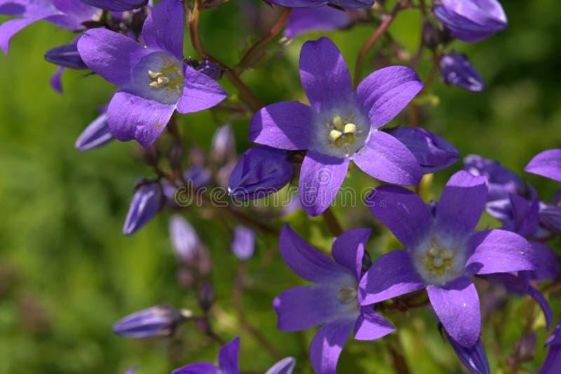 Fundo roxo da flor imagens de stock royalty free