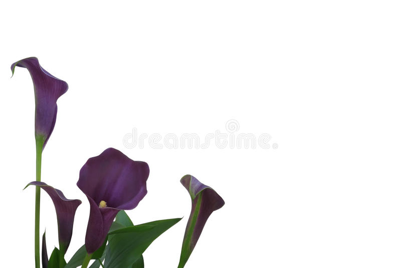 Fundo roxo do lírio de Calla fotografia de stock royalty free