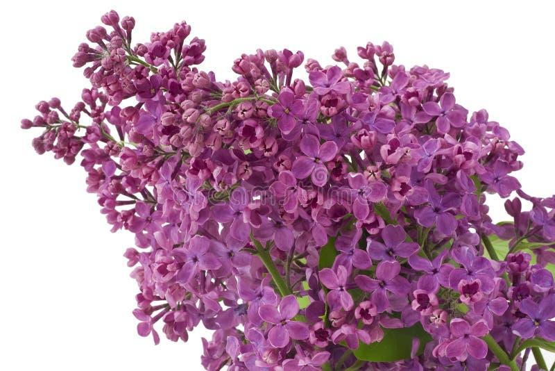 Fundo roxo do lilac foto de stock