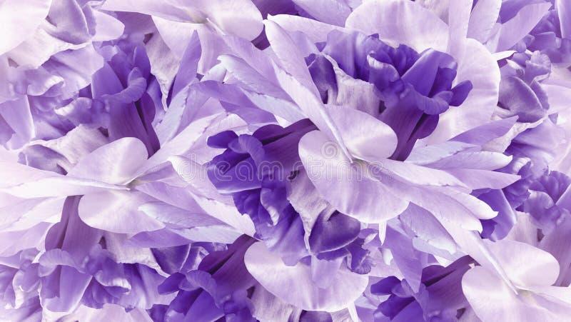 Fundo roxo floral Íris branco-roxas das flores para fechar-se acima Natur imagens de stock royalty free