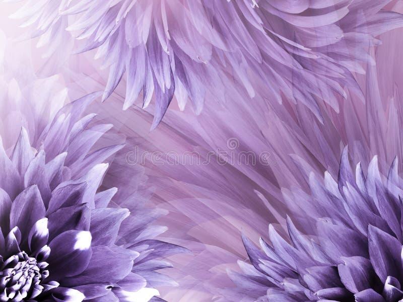 Fundo roxo floral Floresce o close-up em uma luz - roxo das dálias - fundo cor-de-rosa Floresce a composição imagem de stock royalty free