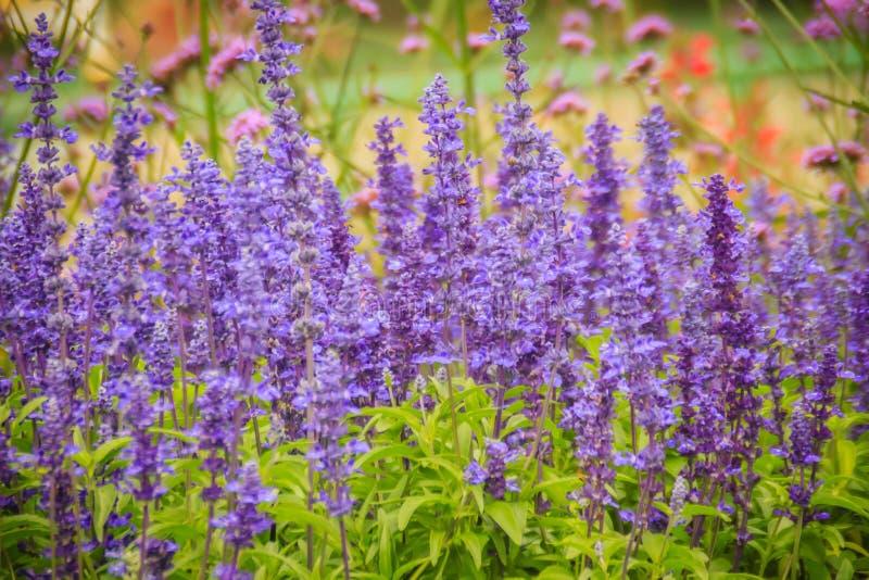 Fundo roxo prudente da flor de Mealycup (farinacea de Salvia) Salvi fotografia de stock royalty free