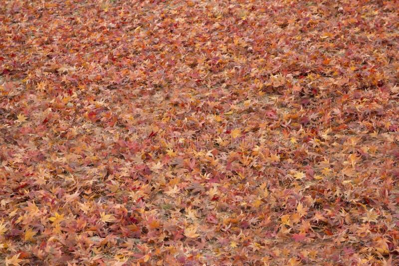 Fundo secado das folhas de bordo imagens de stock