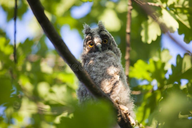 Fundo selvagem da árvore da coruja do bebê foto de stock