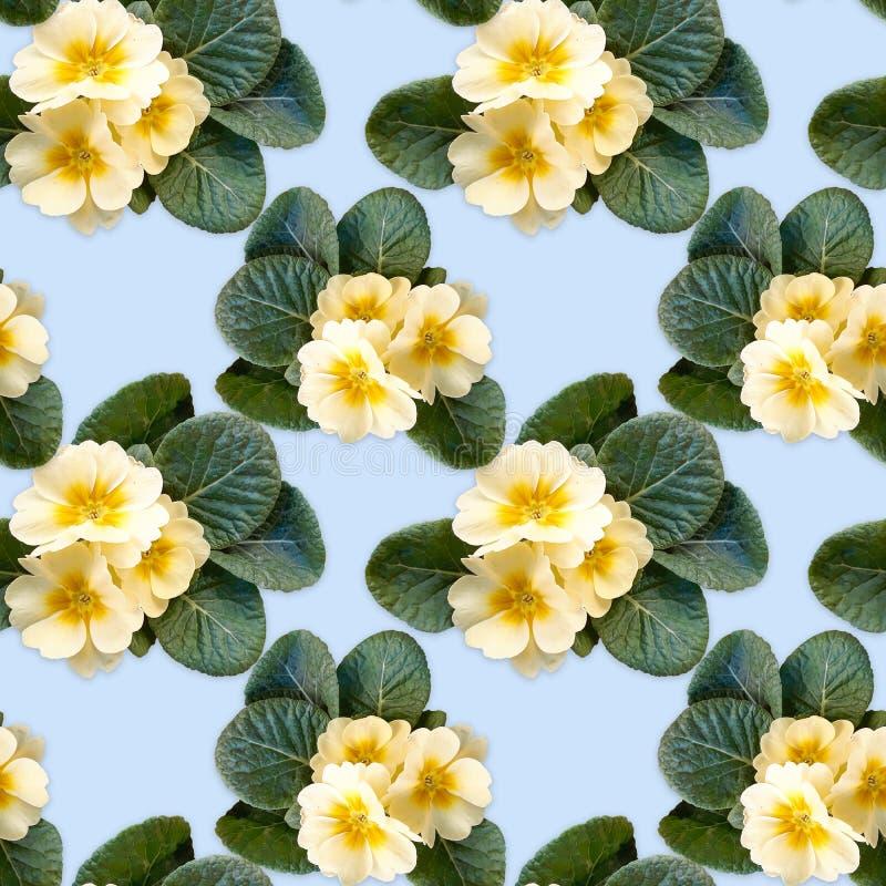 Fundo sem emenda, teste padrão com as flores da prímula amarela em um fundo azul foto de stock royalty free