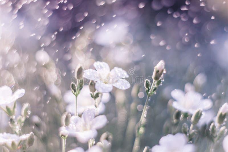 Fundo sonhador da natureza com grama, as flores brancas e as gotas da água na luz solar Macro artístico da lente do foco macio fotografia de stock