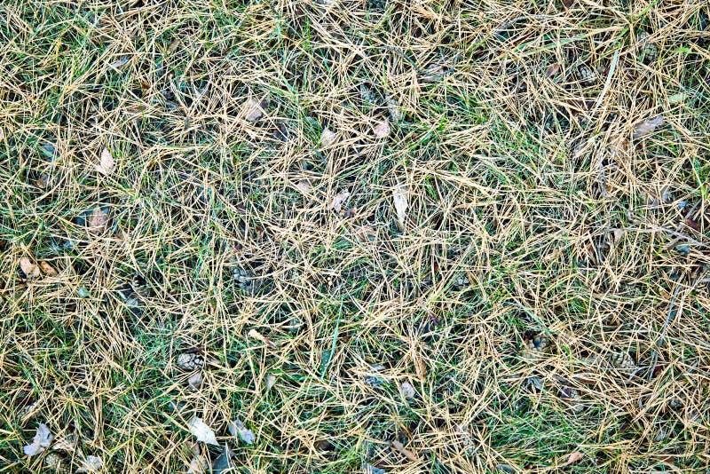 Fundo, textura, agulhas do pinho amarelo na grama verde, fotos de stock