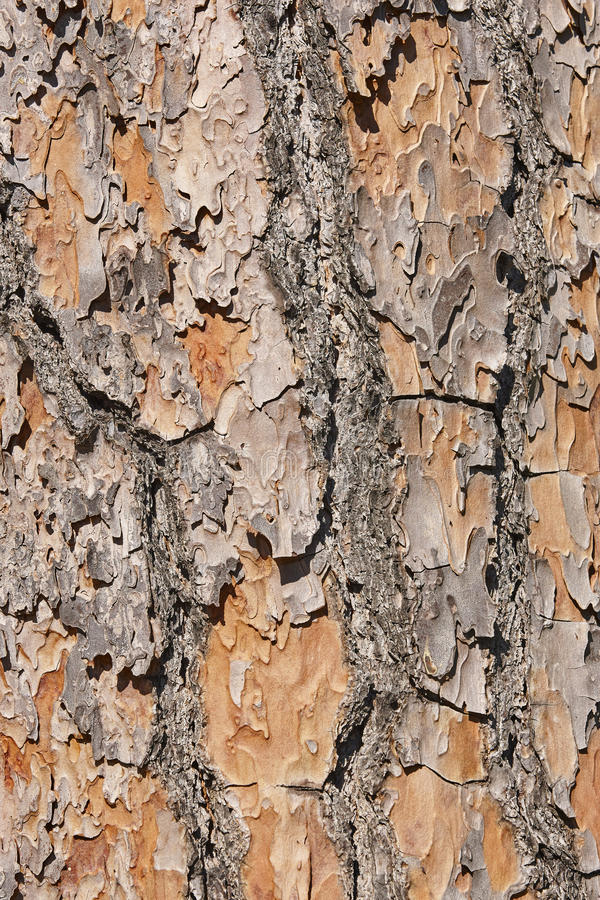 fundo textured da casca de árvore pinewood detalhe da natureza imagens de stock royalty free